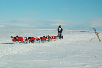 Robert Sorlie and his sled dogs near Nome, Alaska