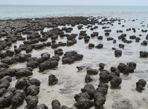 Stromatolites at Shark Bay, Australia