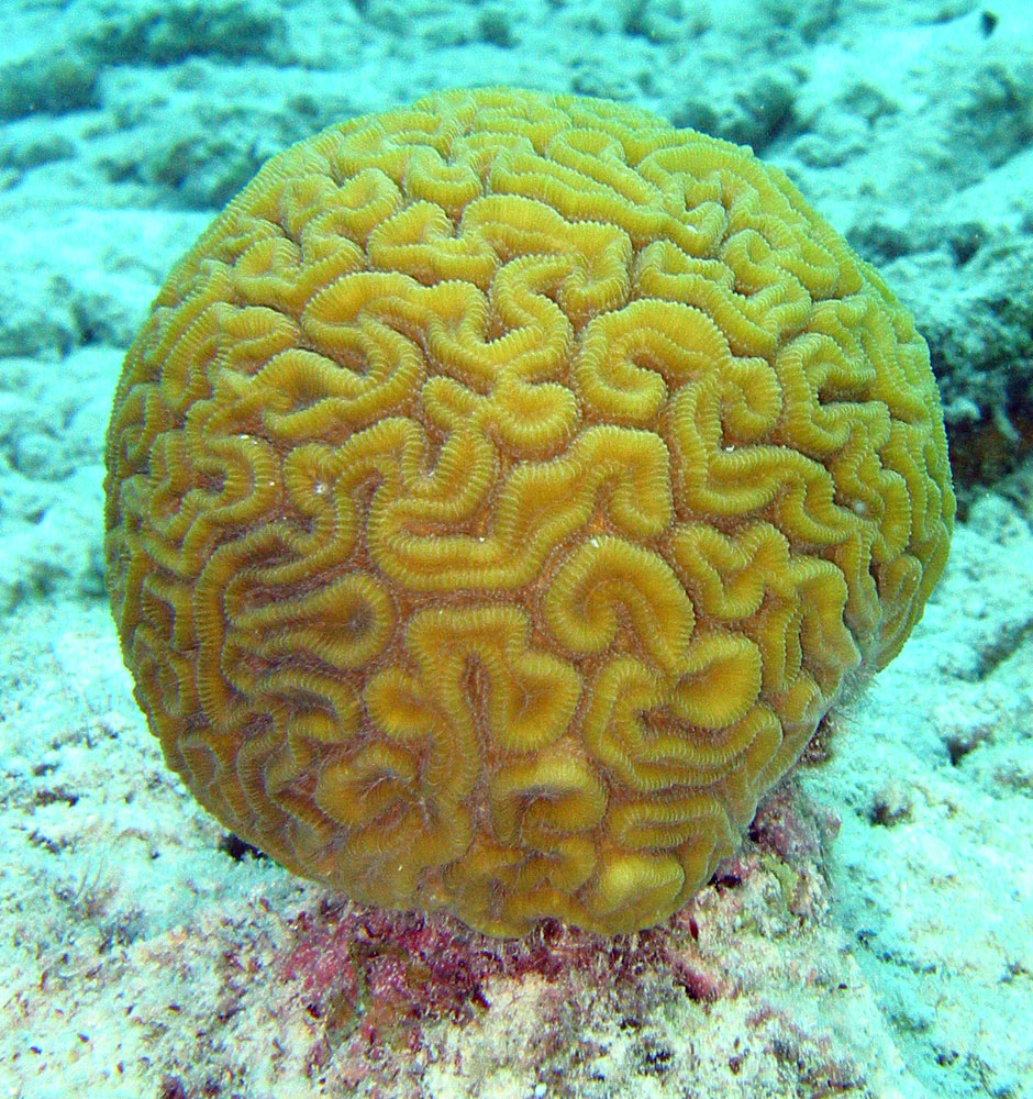 Brain coral a type of hard coral that resembles the human brain