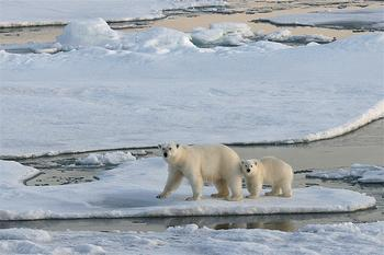 Polar Bears on sea ice