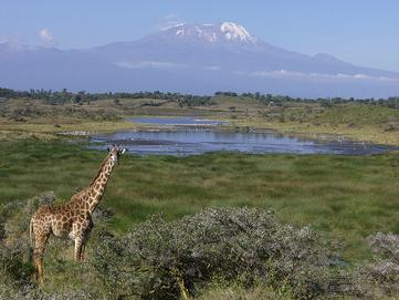 Snow-capped Kilimanjaro and Giraffes