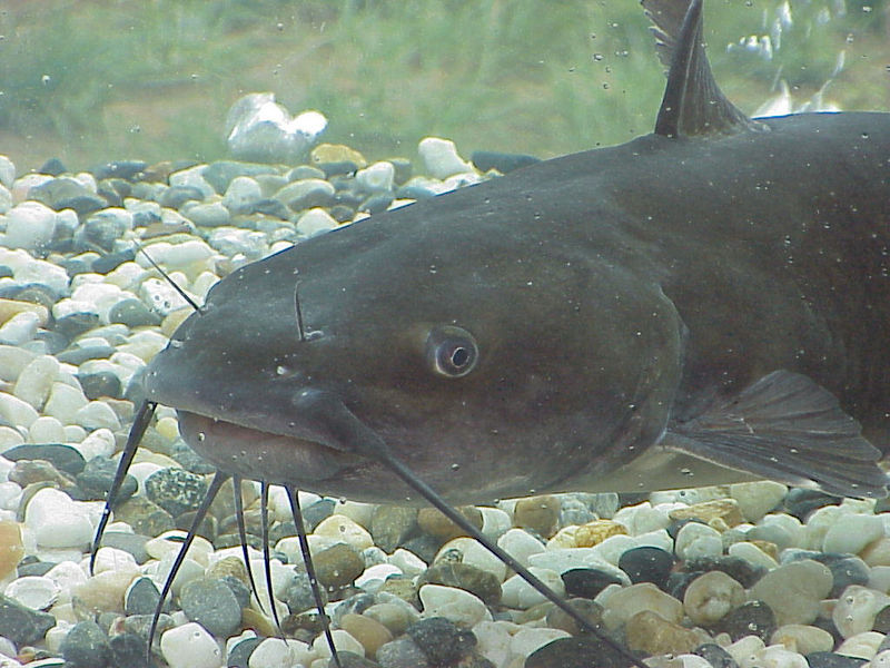 Aqua doc lake and pond management the channel catfish for How to fish for catfish in a lake