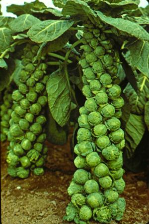 กะหล่ำดาว (Brussels Sprouts)