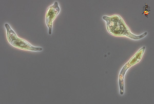 Euglena mutabilis group from the Rio Tinto Spain