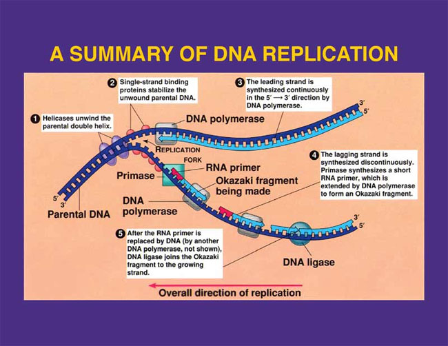 Figure depicting DNA replication.