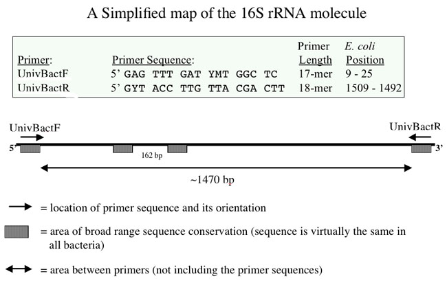 Sequence of the 16s gene.