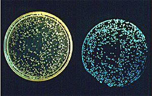 Colonies of the bioluminescent marine bacterium Vibrio fischeri