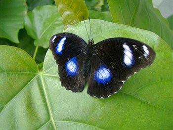 Blue Moon Butterfly
