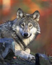 An image of the gray wolf.