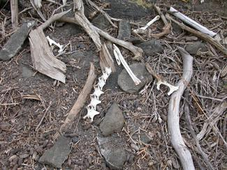 Bones from a Hawk Aerie in Idaho