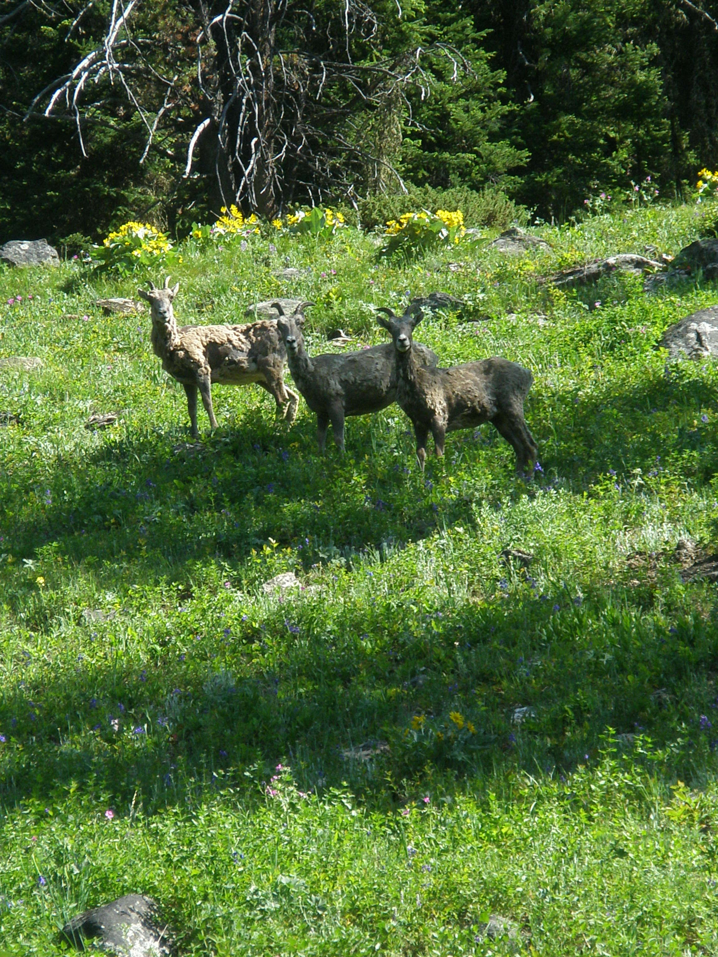 big horn sheep on the bear
