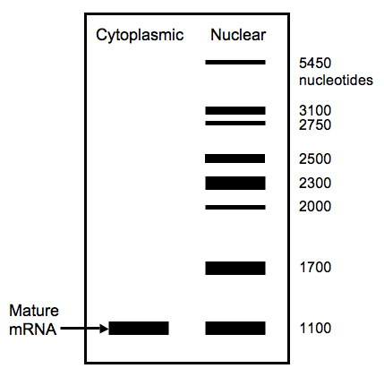 Diagram of northern blot for RNA processing problem