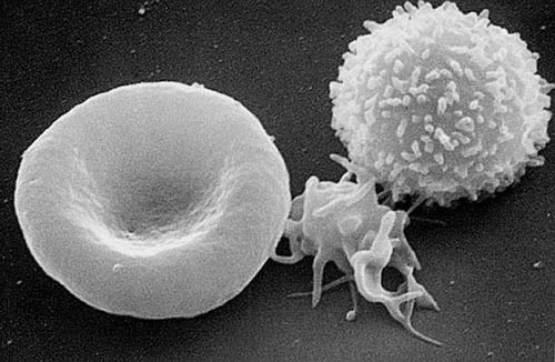 Red blood cell, platelet, and white blood cell from Wikipedia