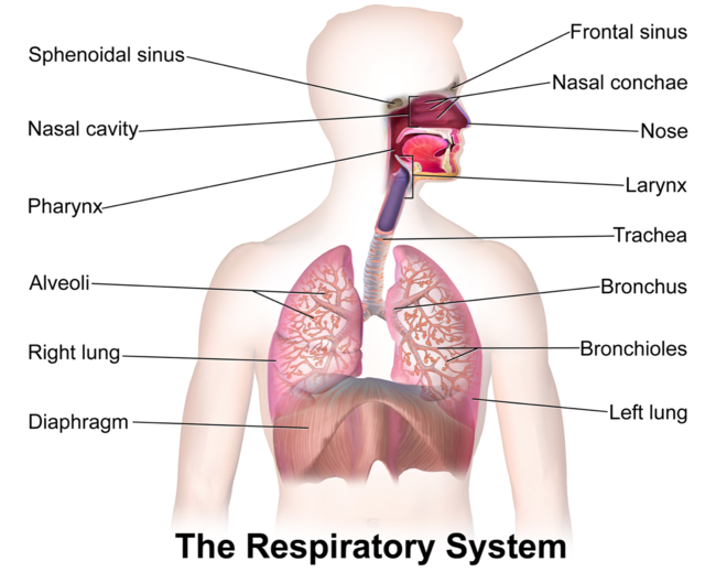 Gcse pe the respiratory system revision notes in gcse physical adaptations increased number of alveoli increased strength of intercostal muscles increased strength of the diaphragm and increased lung volume due to ccuart Image collections